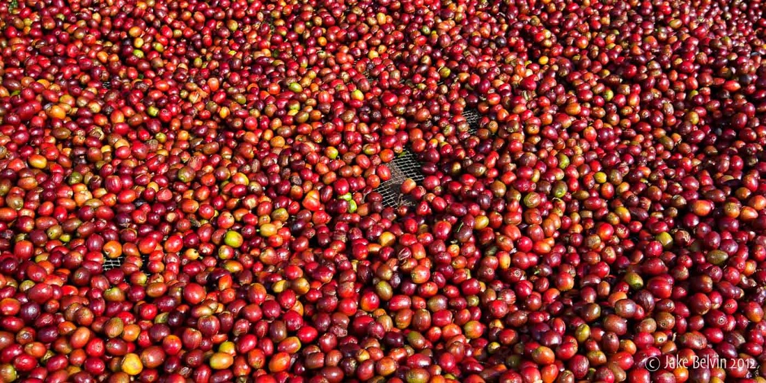 Sun-Drying Coffee Cherries